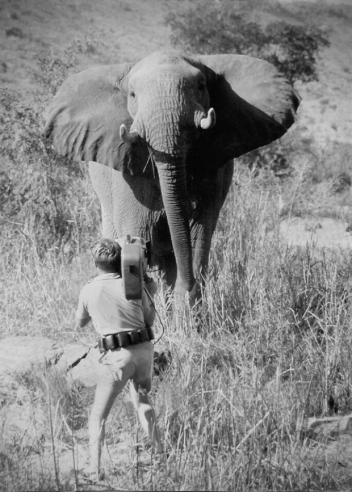 An action shot during the making of one of the African Environmental Film Foundation films, showing a man with a camera and an elephant.