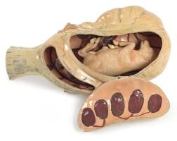 34. auzoux clastic anatomical model