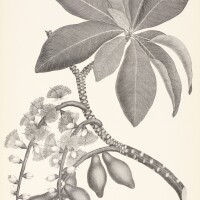 1. banks, illustrations of the botany of cook's voyage round the world, 1900-1905