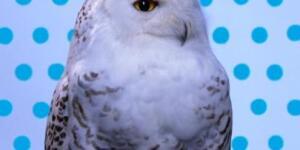 ROBERT WILSON | KOOL/SNOWY OWL