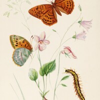 14. johnson, a life history of the british butterflies, 1906