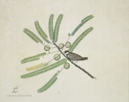 255. an ashy-crowned sparrow lark (eremopterix grisea) perched on the branch of a mimosa tree, from the impey album, signed by zayn al-din, calcutta, dated 1780