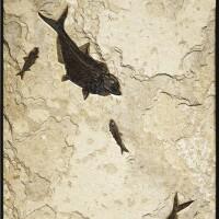 11. importante et exceptionnelle plaque de poissons fossiles murale,eocène (50 millions d'années), green river formation,wyoming, u.s.a