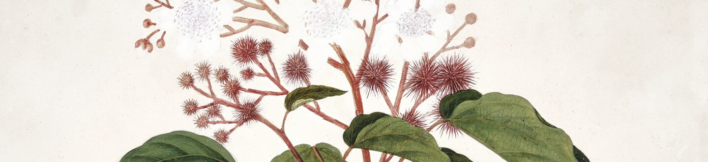 A Botanical Watercolour Drawing in an auction selling botanical art