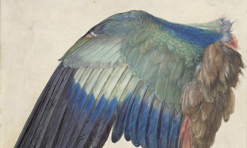 Albrecht Dürer_Wing of a Blue Roller