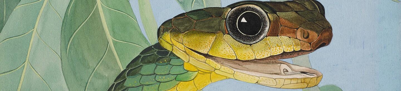 George Swanson, Chironius Carinatus (Machete Savane). Estimate $3000–5000.